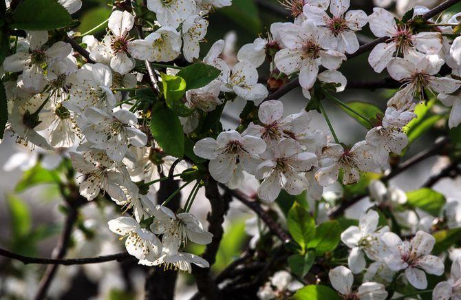весенние заморозки могут уничтожить бутоны и цветы