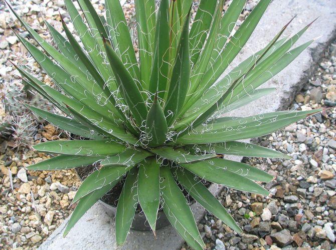 Советы и рекомендации по уходу за цветком агава