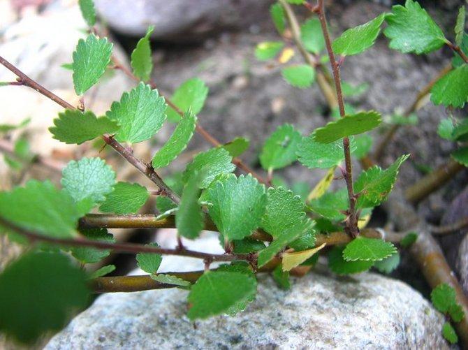 Фото в тундре и в ландшафте с описанием дерева