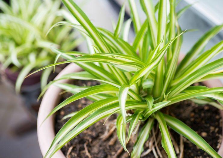 Почва для выращивания хлорфитума