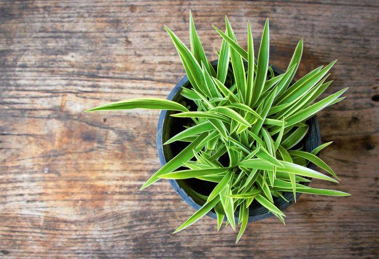 Основные правила выращивания хлорофитума