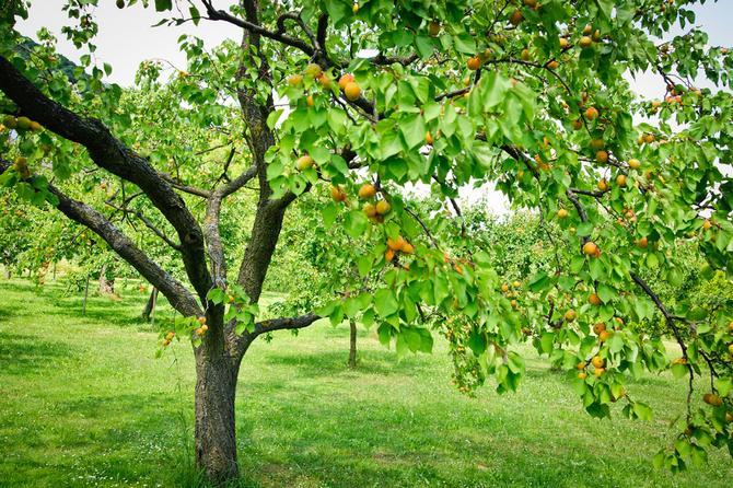 Как выращивать дерево абрикос