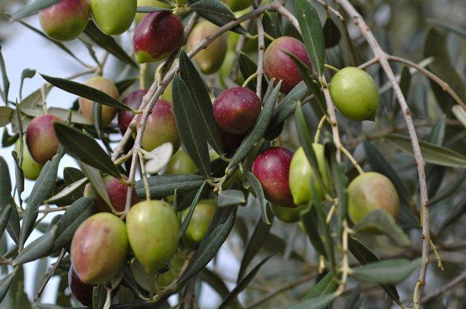 Дерево олива. Фото растения, плоды, цветы и листья оливы или маслины