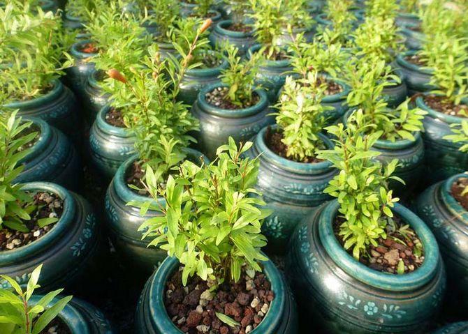 Высаживают в грунт весной или осенью на площадку, хорошо освещенную солнцем