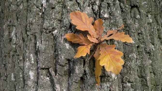 В медицине используется кора и листья дуба красного