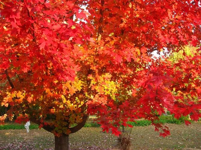 Дерево дуб красный. Фото и описание