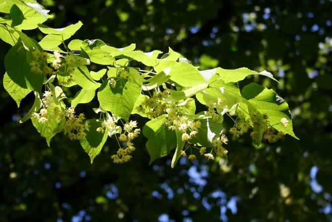 Цветет липа в июне, наполняя пространство вокруг себя приятным ароматом