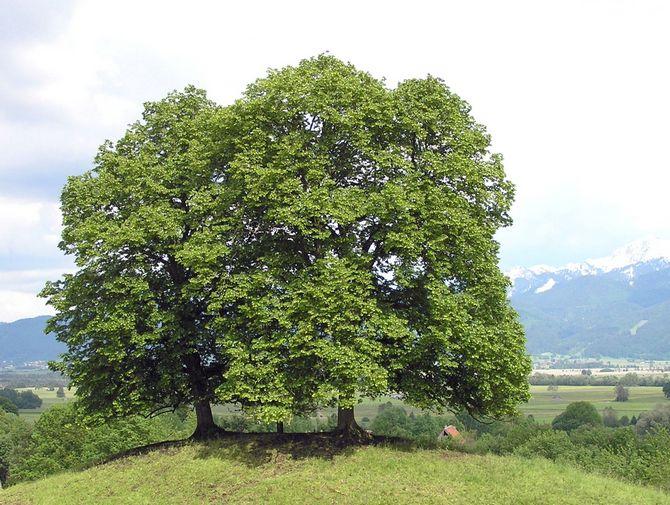 Как правильно посадить и выращивать липу европейскую своими руками