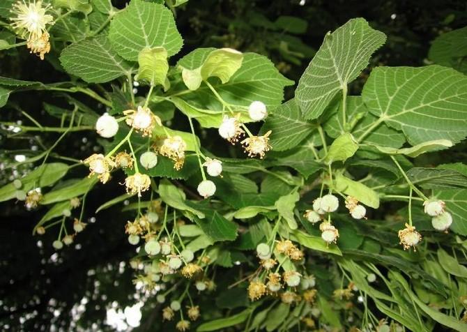 Цветки вместе с нераспустившимися бутонами заготавливают, естественно, в период цветения