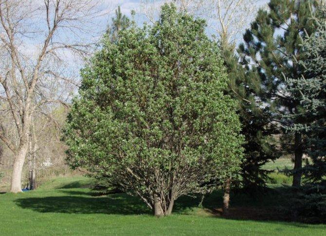 В мире насчитывается более 30-ти видов ольхи в виде деревьев и кустарников