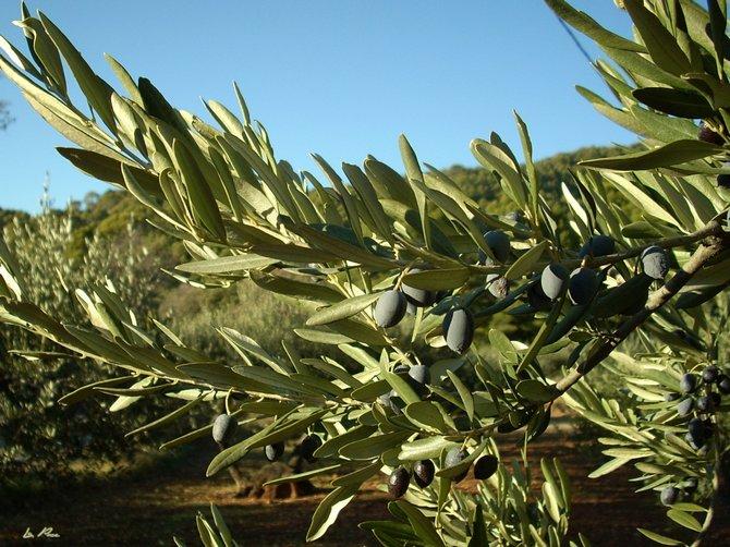 Где растет растение олива?