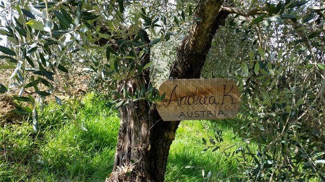 Средняя продолжительность роста маслины – около пятисот лет