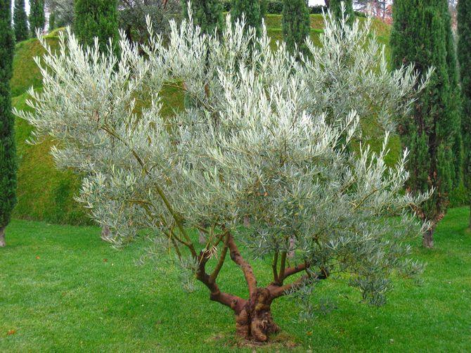 Как самому выращивать дерево олива в саду