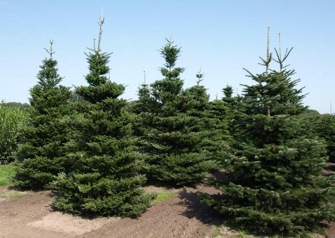 Данное дерево снабжено сильной, глубоко уходящей в землю, корнесистемой