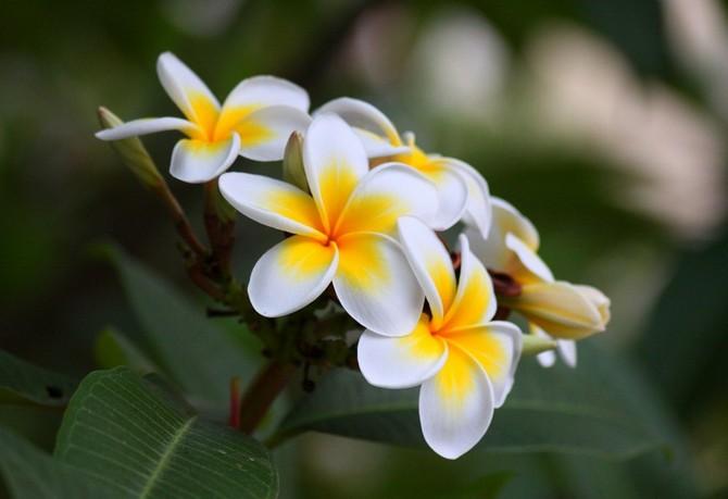 Советы и рекомендации как правильно ухаживать за цветком плюмерия