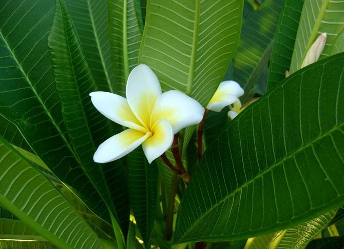 Посадка и размножение цветка плюмерии