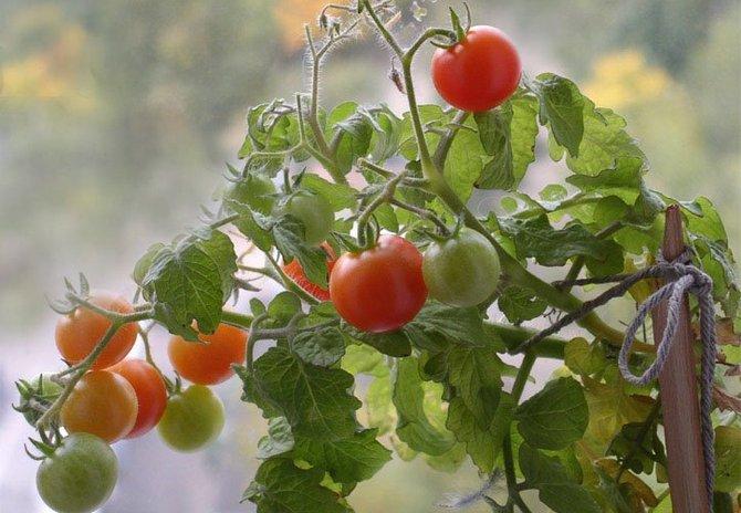 Советы и рекомендации по выращиванию помидоров на подоконнике в домашних условиях