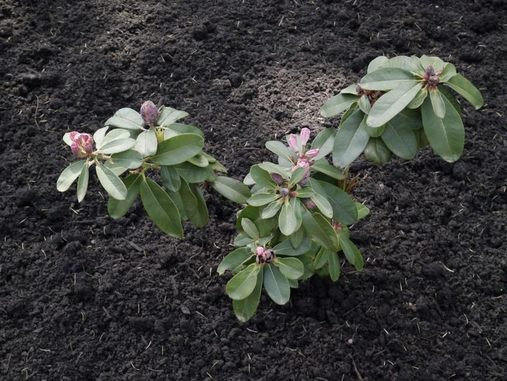 Правила посадки рододендрона