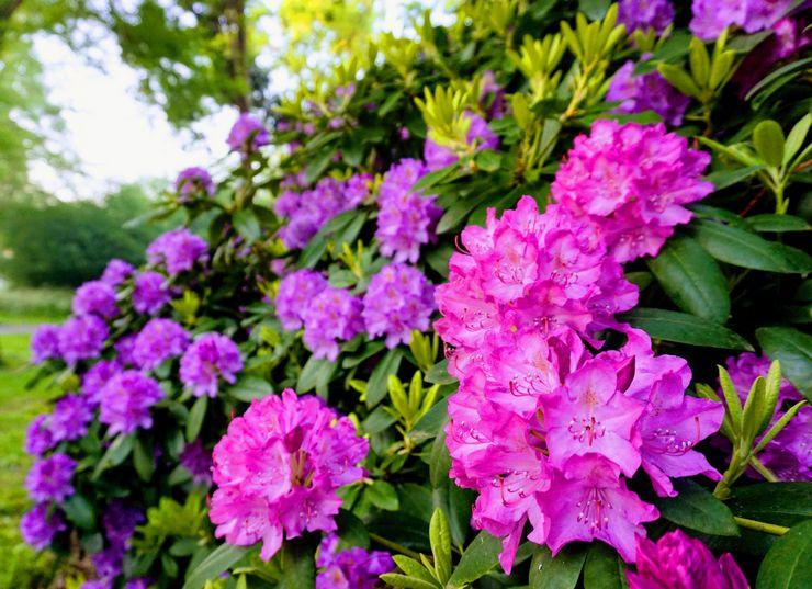 Уход за рододендроном в саду