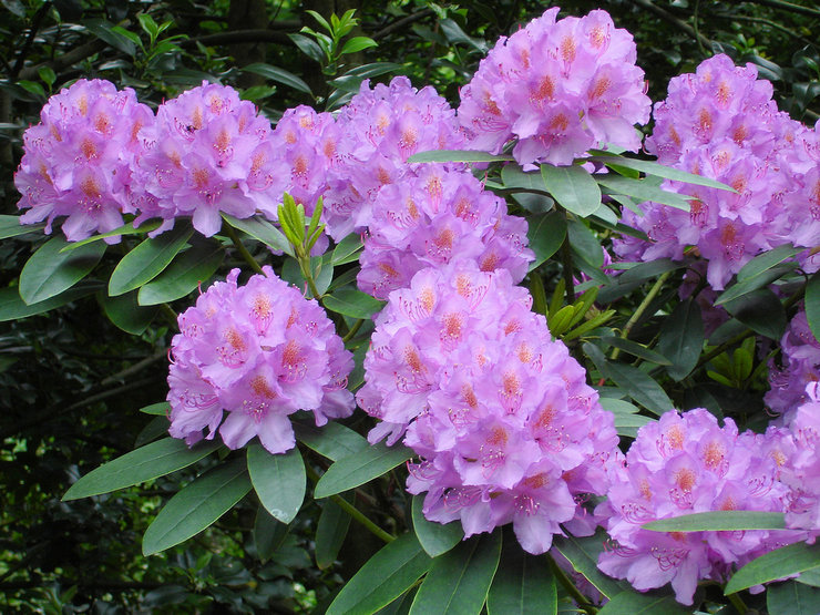 Рододендрон – посадка и уход в открытом грунте. Выращивание рододендрона, способы размножения. Описание. Фото