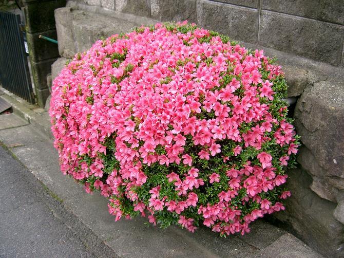 Советы и рекомендации начинающим садоводам по выращиванию рододендрона