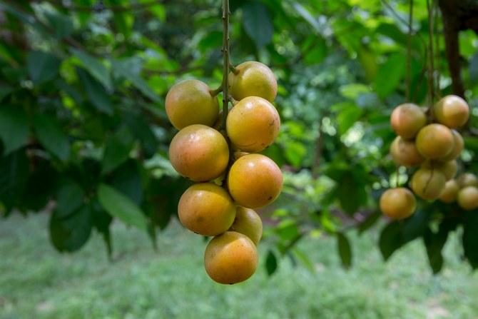 Как правильно ухаживать за фруктовым деревом бирманский виноград
