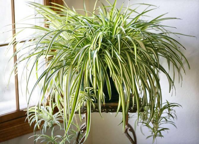 Как правильно выращивать хлорофитум в домашних условиях