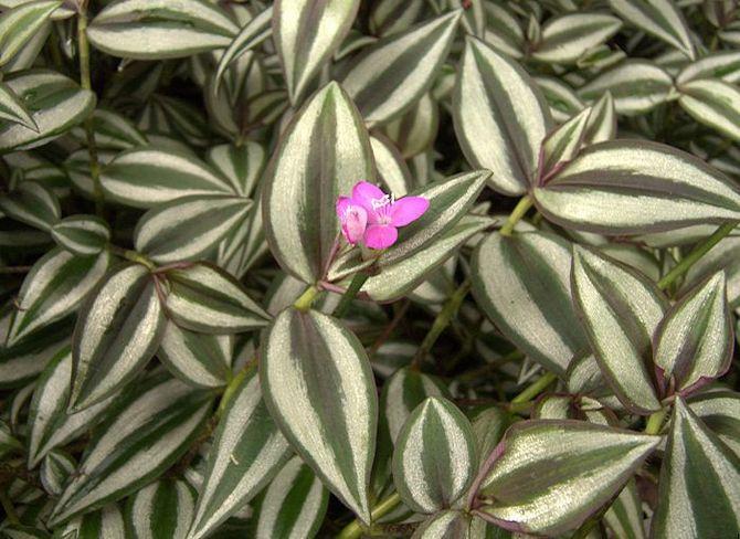 Зебрина цветок