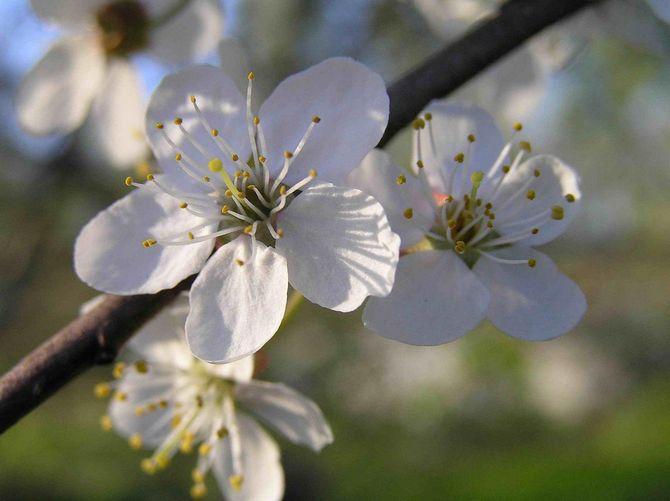 Цветки алычи могут быть белыми или иметь розовый оттенок