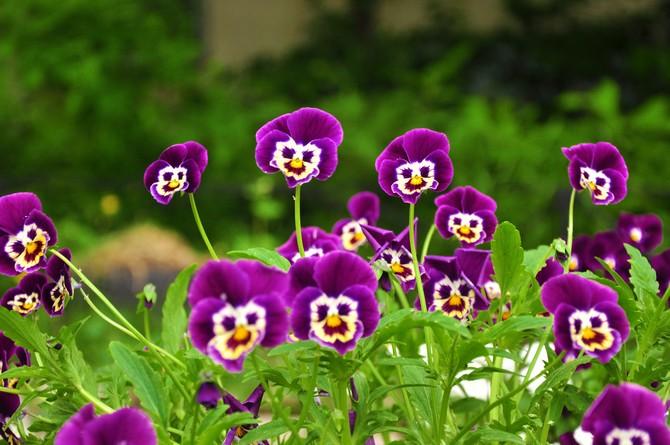 Анютины глазки. Виола. Выращивание цветка