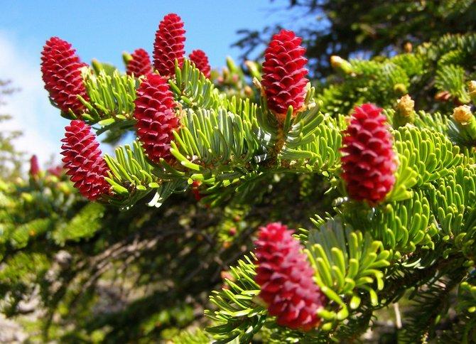 Ель аянская. Фото и описание сортов. Picea jezoensis
