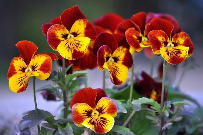 Советы и рекомендации по уходу за анютиными глазками в саду