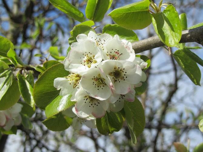 Цветки белого цвета, встречаются розовые, в диаметре достигают 3 см, образуют зонтики