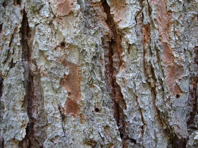Болезни сибирского кедра и вредители