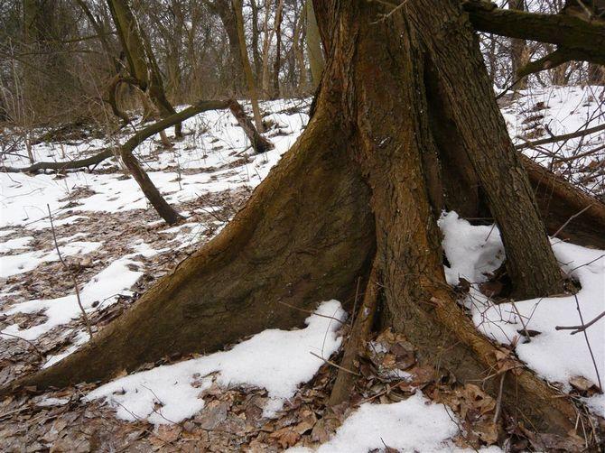 Народная медицина использует отвары коры этого дерева для лечения
