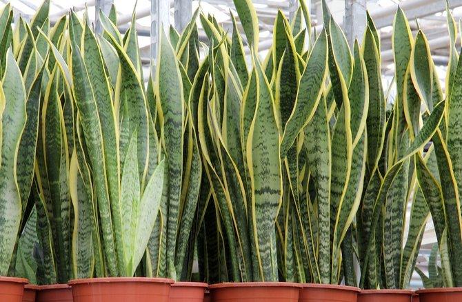 Как правильно ухаживать за домашним растением сансевиерией