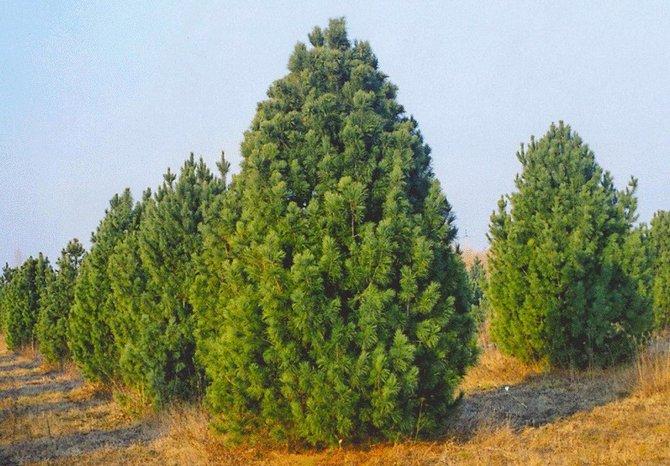 Сибирский кедр нуждается в мульчировании почвы, для поддержания высокого уровня плодородия дерева