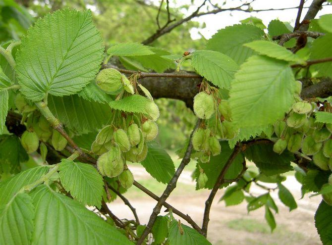 Как выглядит на фото, описание листьев, коры, ствола