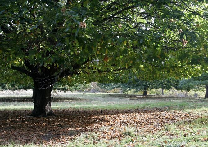 Каштан американский - популярное парковое дерево