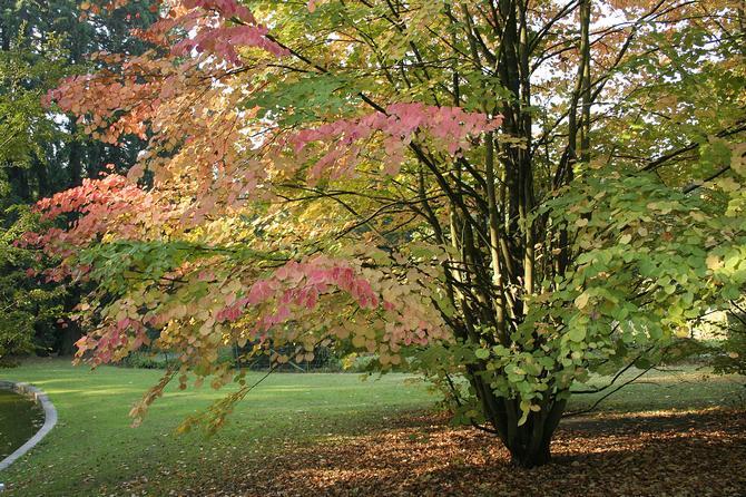 Советы и рекомендации по выращиванию багрянника в саду