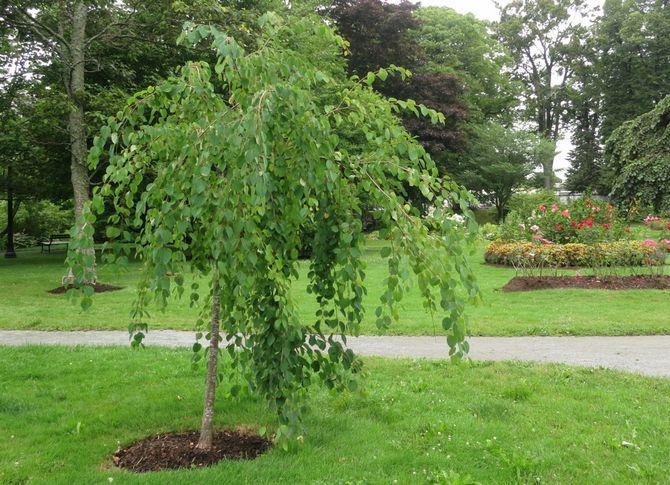Рост дерева происходит быстро, в год прибавляет до сорока сантиметро