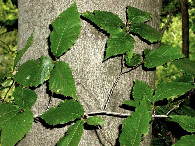 Полезные свойства дерева бук
