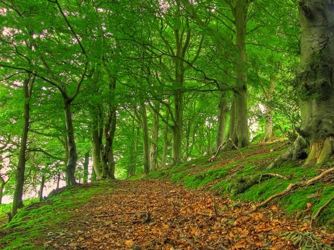 Дерево бук лесной. Фото, описание и свойства