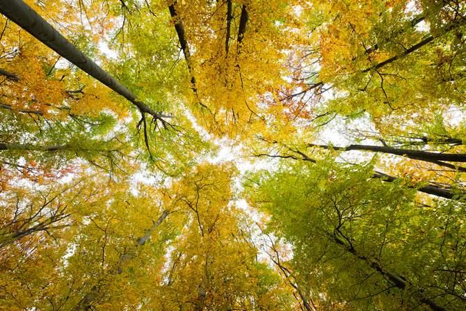 Где растет бук лесной