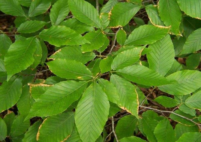 Полезные свойства, использование лесного бука в природе и хозяйстве