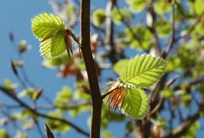 Кроме того, большой ценностью обладает буковая кора и листья