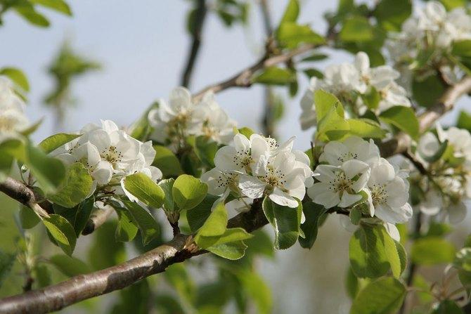 В период цветения с цветков груши обыкновенной можно собрать большой объем нектара