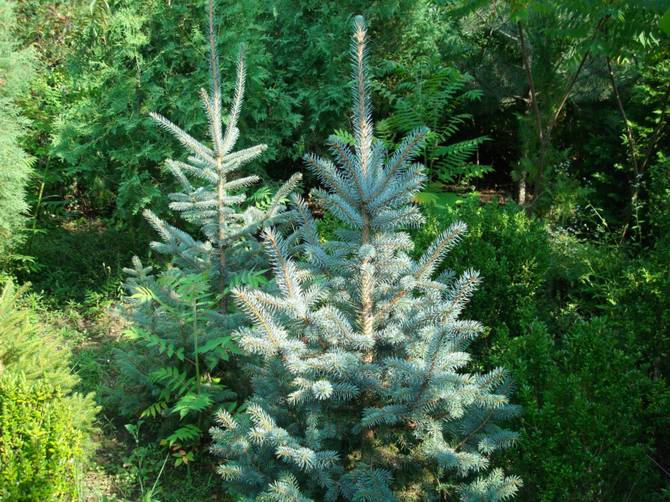 Как правильно посадить и ухаживать за колючей серебристой елью