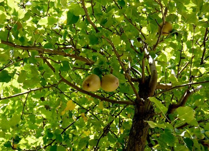 Фото, описание кроны и плода обыкновенной груши
