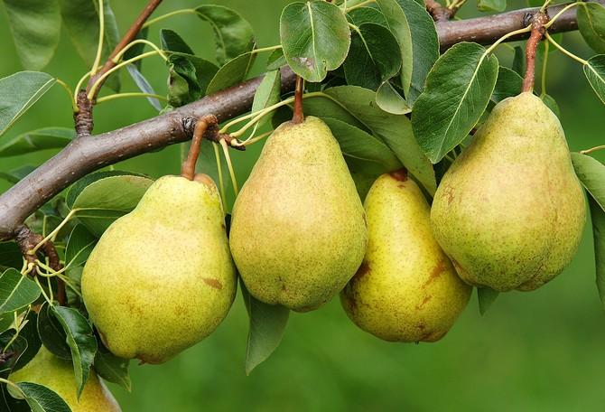 Груша обыкновенная. Плодовые деревья